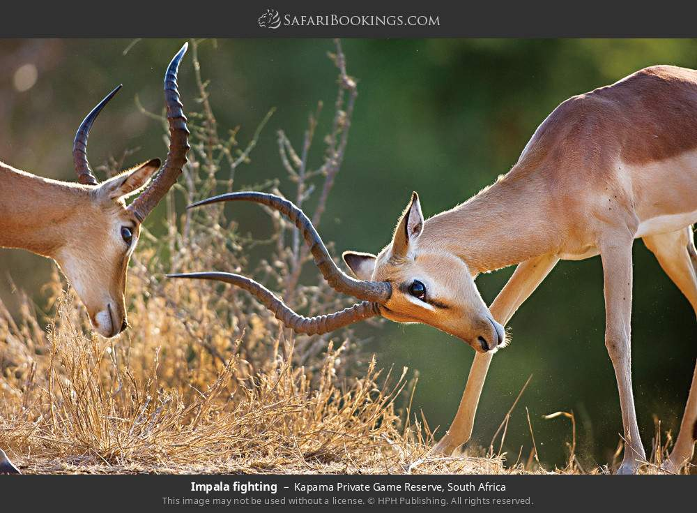 Impala fighting in Kapama Private Game Reserve, South Africa