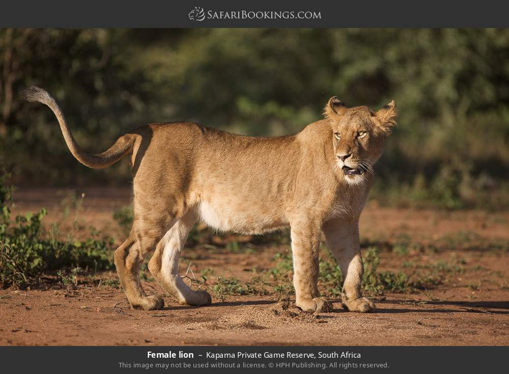 Female lion in Kapama Private Game Reserve, South Africa