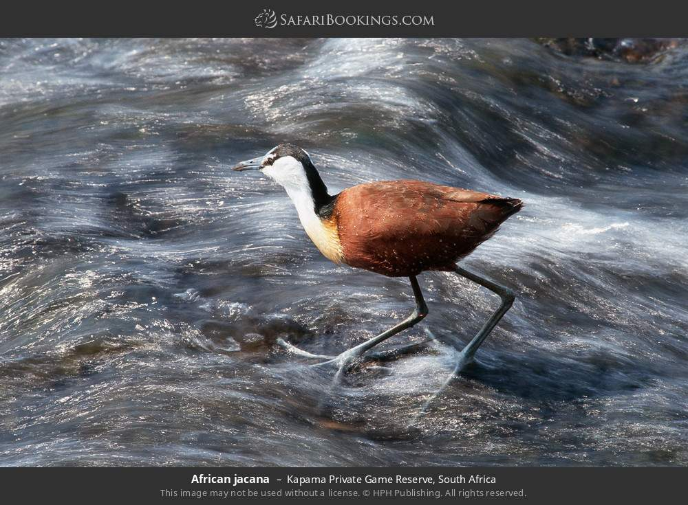 African jacana in Kapama Private Game Reserve, South Africa