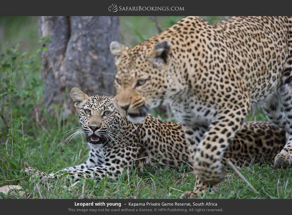 Leopard with young in Kapama Private Game Reserve, South Africa
