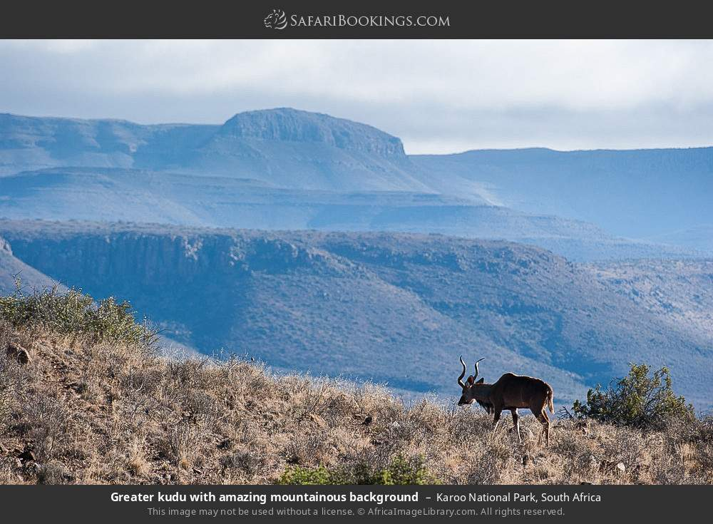 Greater kudu with amazing mountainous background in Karoo National Park, South Africa
