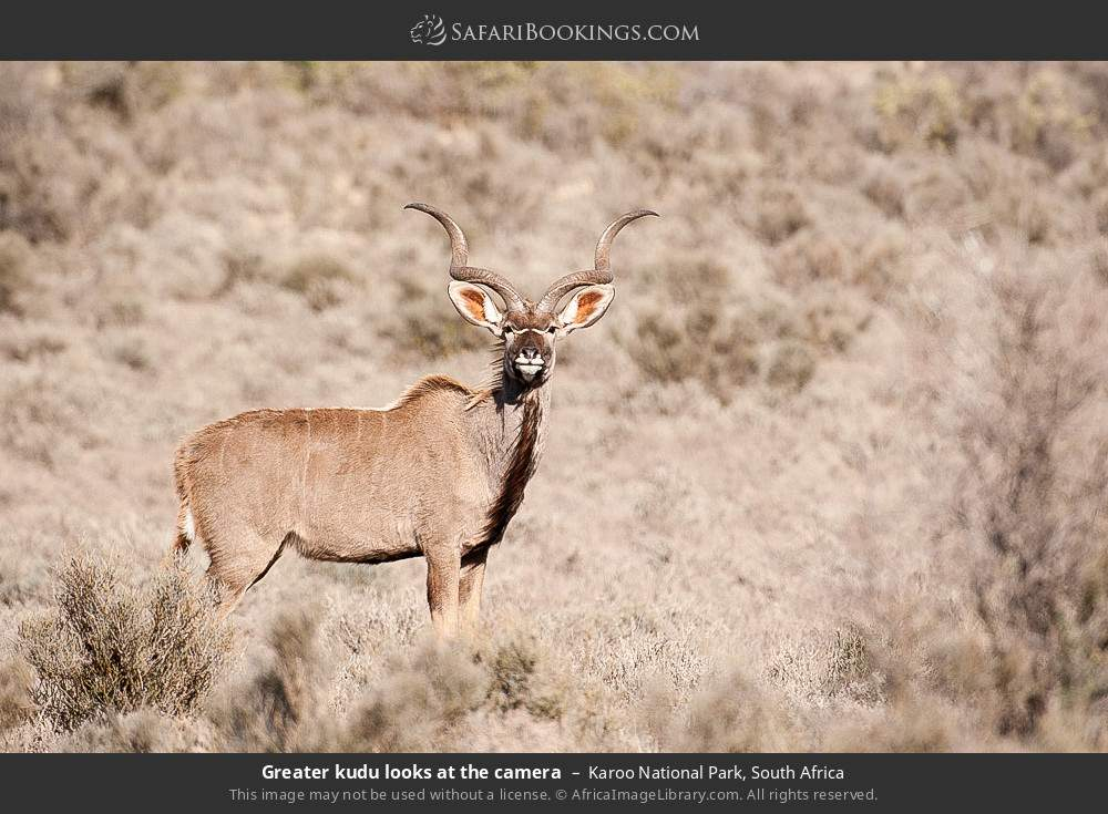 Greater kudu looks at the camera in Karoo National Park, South Africa