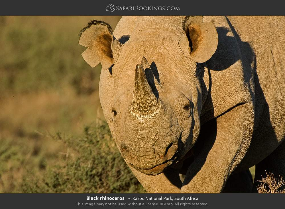 Black rhinoceros  in Karoo National Park, South Africa
