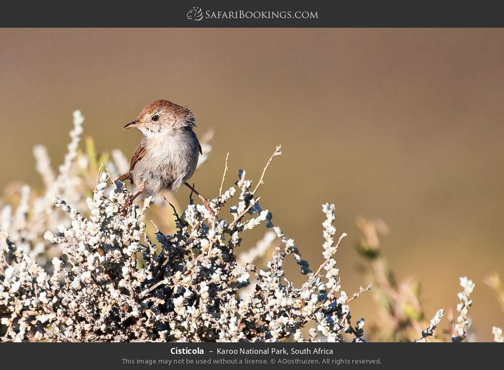 Cisticola in Karoo National Park, South Africa