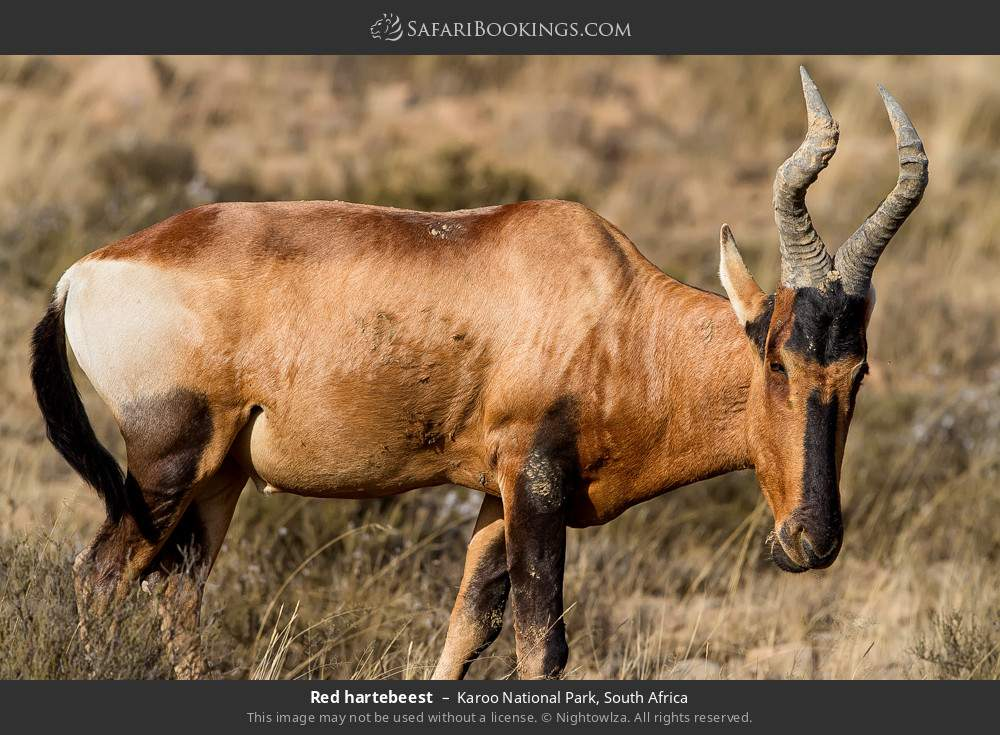 Red hartebeest in Karoo National Park, South Africa