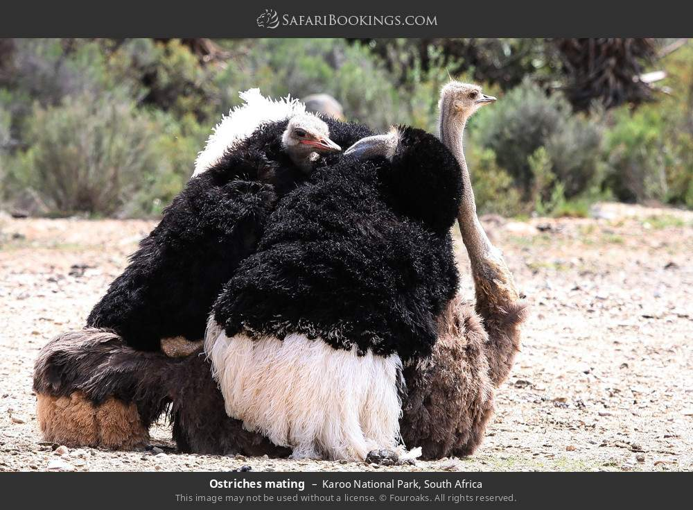 Ostriches mating in Karoo National Park, South Africa