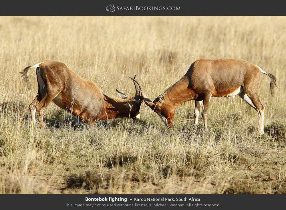 Bontebok fighting in Karoo National Park, South Africa