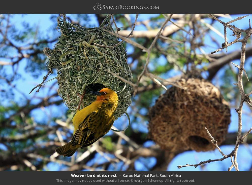 Weaver bird at its nest in Karoo National Park, South Africa