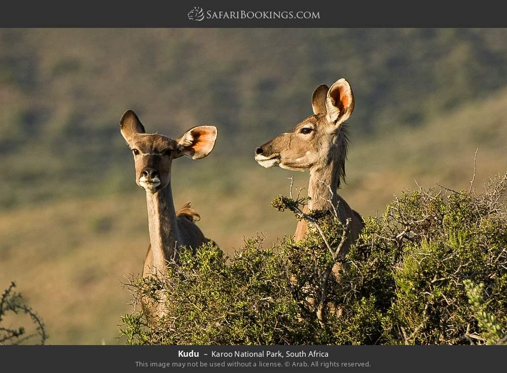 Kudu in Karoo National Park, South Africa
