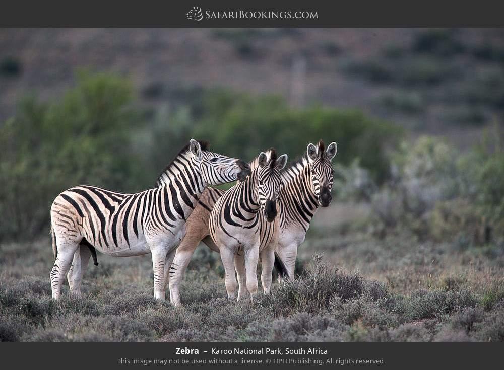 Zebra in Karoo National Park, South Africa