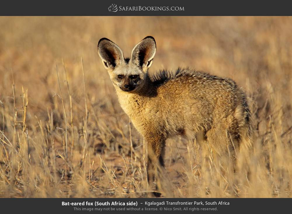 Bat-eared fox (South Africa side) in Kgalagadi Transfrontier Park, South Africa