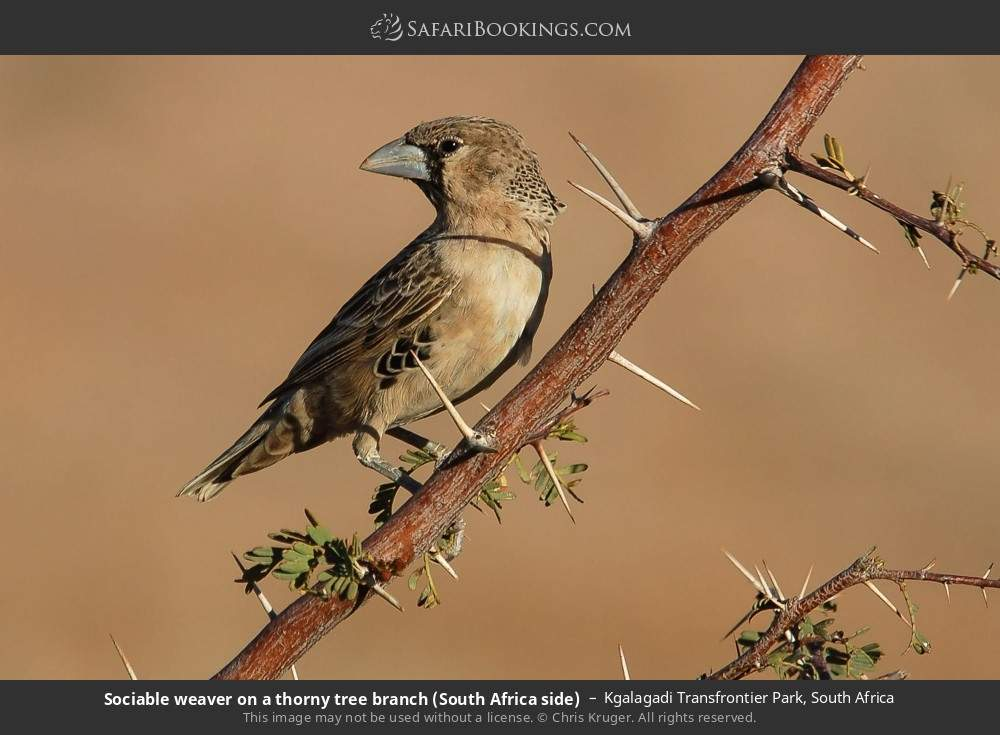 Sociable Weaver on a thorny tree branch (South Africa side) in Kgalagadi Transfrontier Park, South Africa