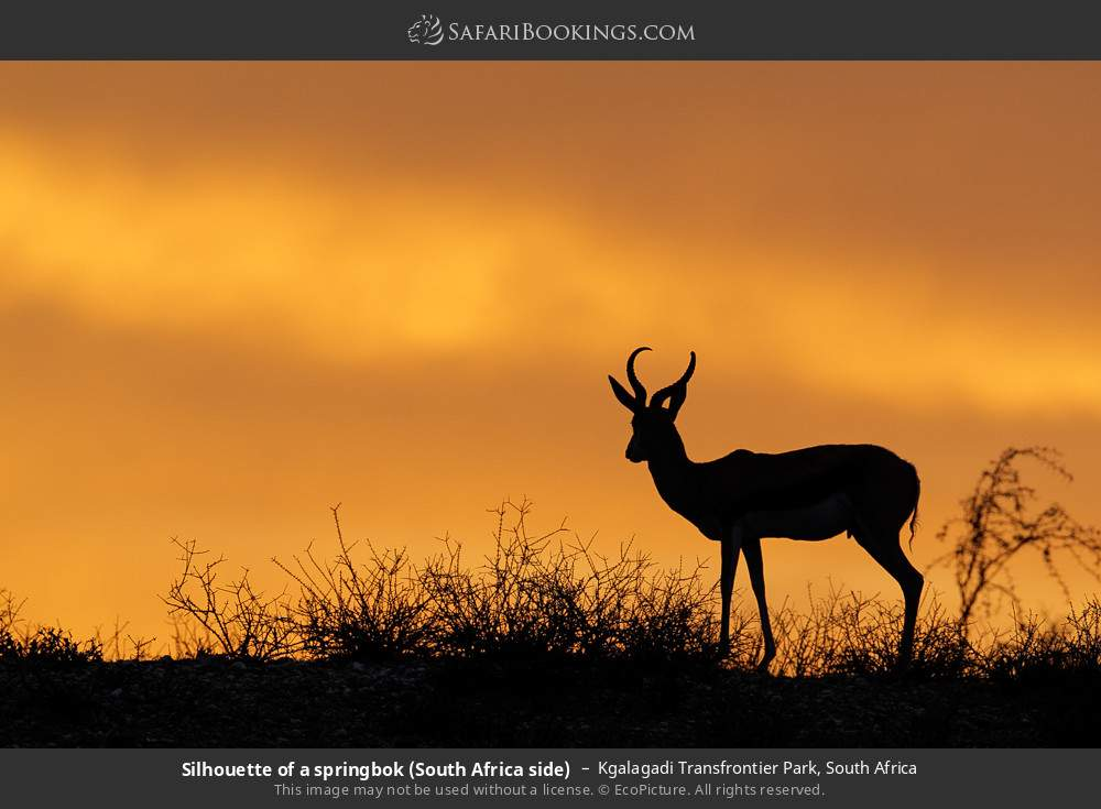 Silhouette of a springbok (South Africa side) in Kgalagadi Transfrontier Park, South Africa