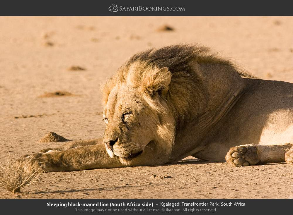 Sleeping black-maned lion (South Africa side) in Kgalagadi Transfrontier Park, South Africa