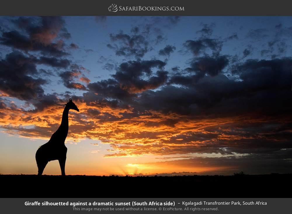 Giraffe silhouetted against a dramatic sunset (South Africa side) in Kgalagadi Transfrontier Park, South Africa