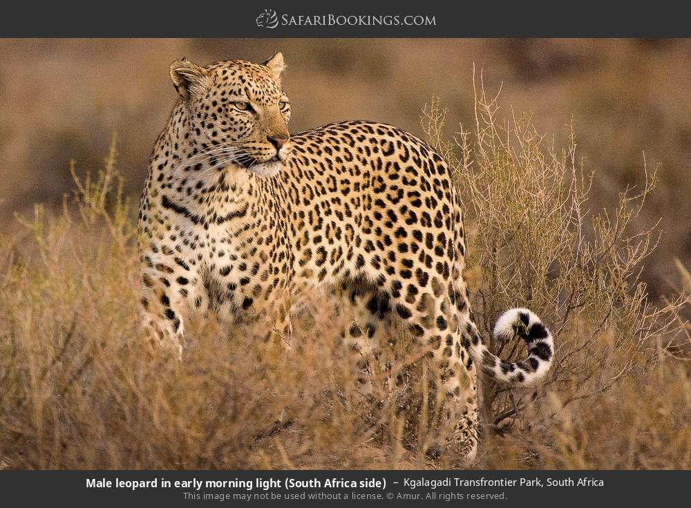 Male leopard in early morning light (South Africa side) in Kgalagadi Transfrontier Park, South Africa