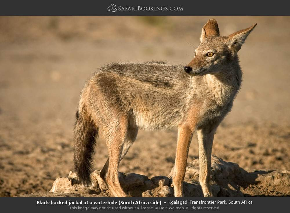 Black-backed jackal at a waterhole (South Africa side) in Kgalagadi Transfrontier Park, South Africa