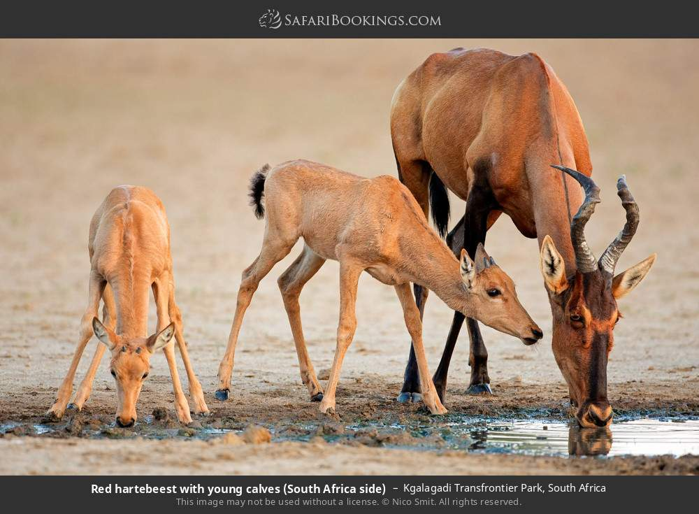 Red hartebeest with young calves (South Africa side) in Kgalagadi Transfrontier Park, South Africa