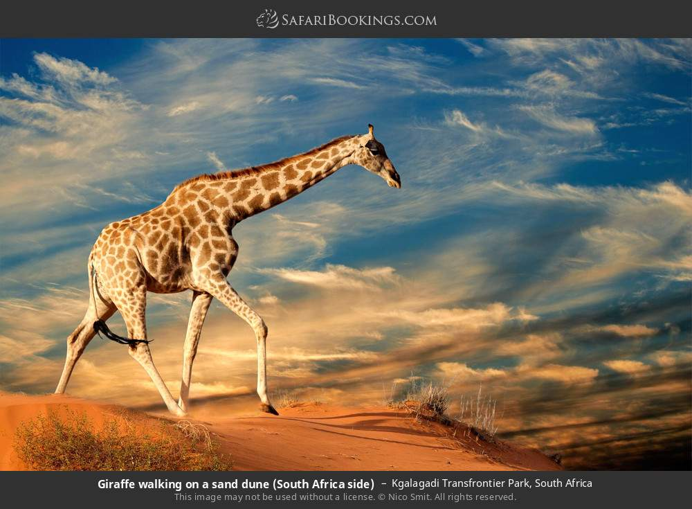 Giraffe walking on a sand dune (South Africa side) in Kgalagadi Transfrontier Park, South Africa