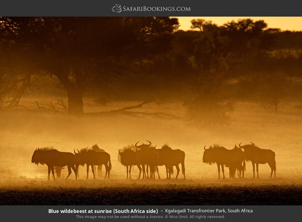 Blue wildebeest at sunrise (South Africa side) in Kgalagadi Transfrontier Park, South Africa