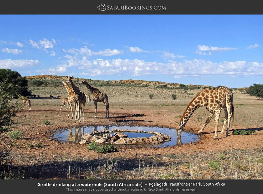 Giraffe drinking at a waterhole (South Africa side) in Kgalagadi Transfrontier Park, South Africa