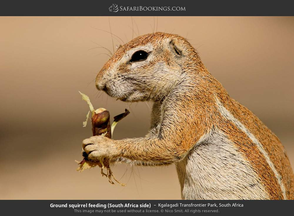 Ground squirrel feeding (South Africa side) in Kgalagadi Transfrontier Park, South Africa