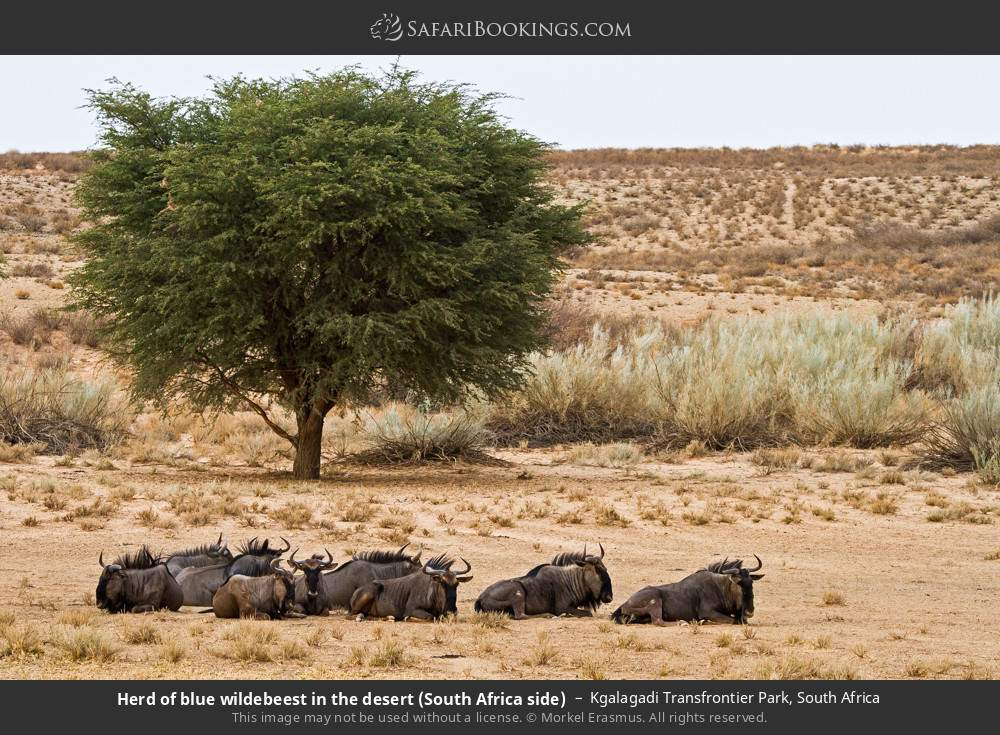Herd of blue wildebeest in the desert (South Africa side) in Kgalagadi Transfrontier Park, South Africa