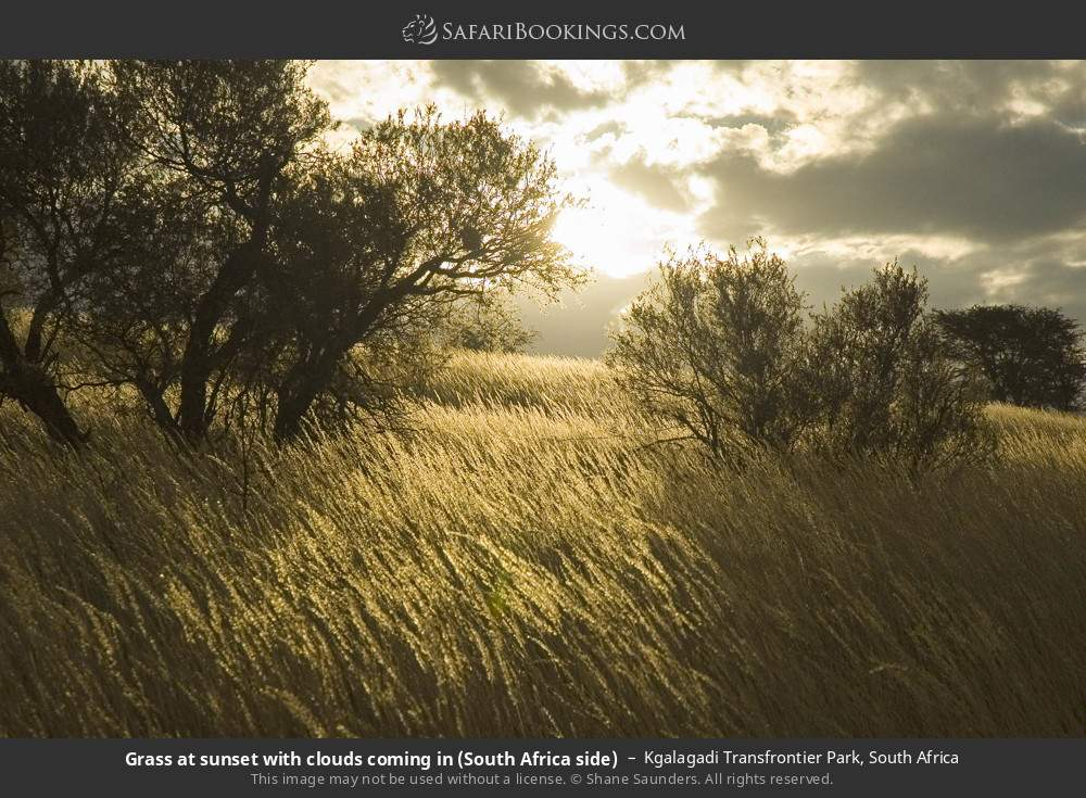 Grass at sunset with clouds coming in (South Africa side) in Kgalagadi Transfrontier Park, South Africa