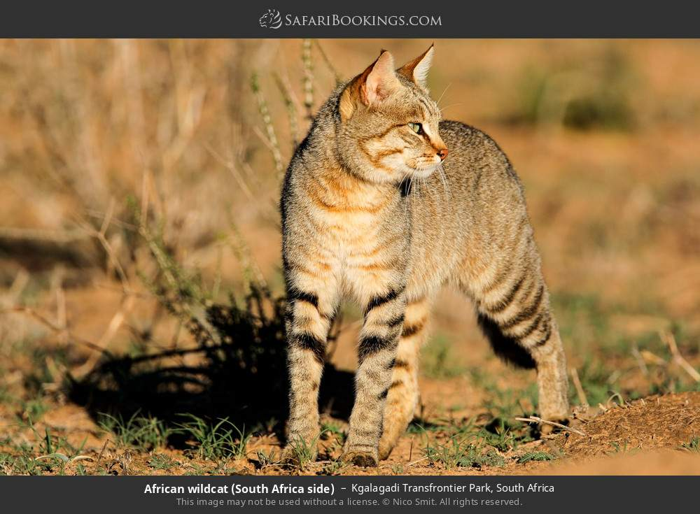 African wildcat (South Africa side) in Kgalagadi Transfrontier Park, South Africa