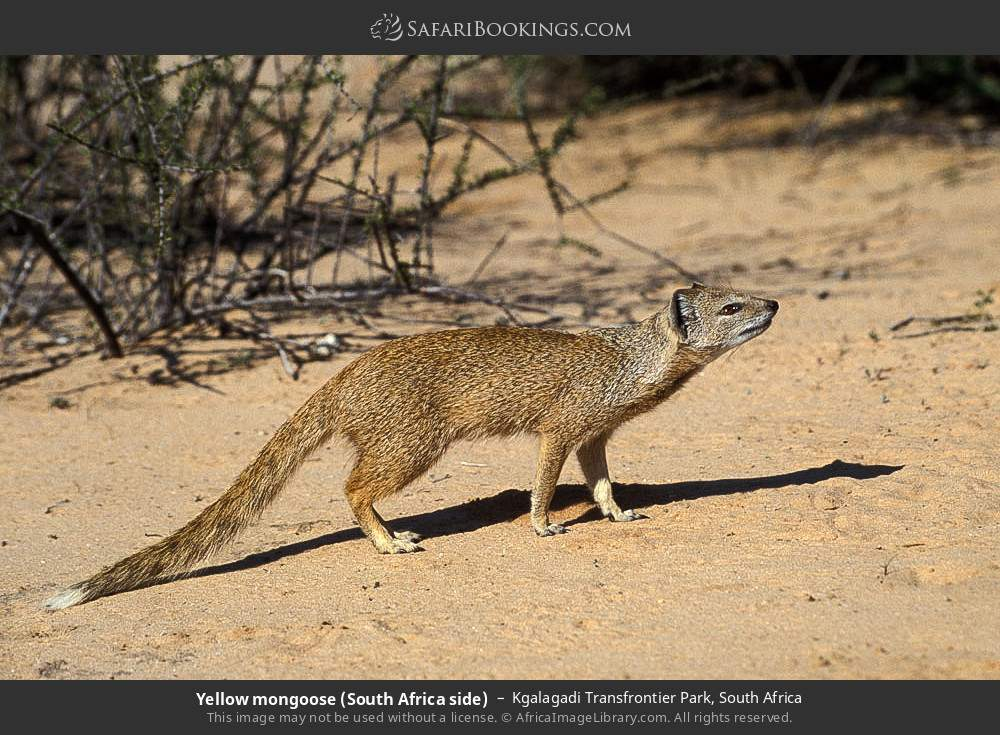 Yellow mongoose (South Africa side) in Kgalagadi Transfrontier Park, South Africa