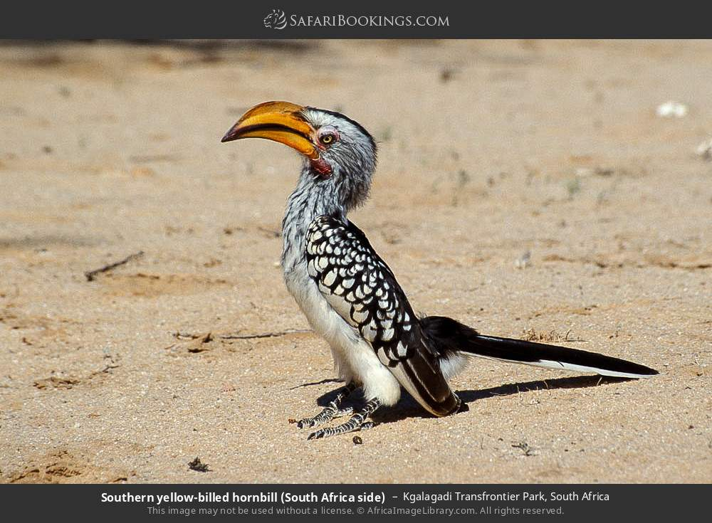 Southern yellow-billed hornbill (South Africa side) in Kgalagadi Transfrontier Park, South Africa