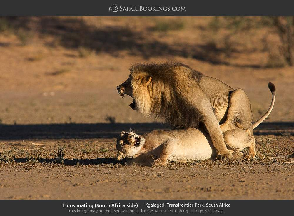 Lions mating (South Africa side) in Kgalagadi Transfrontier Park, South Africa