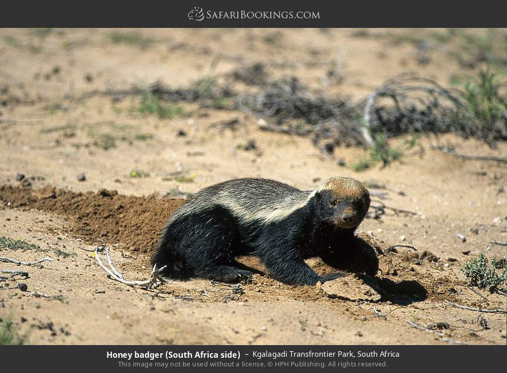 Honey badger (South Africa side) in Kgalagadi Transfrontier Park, South Africa