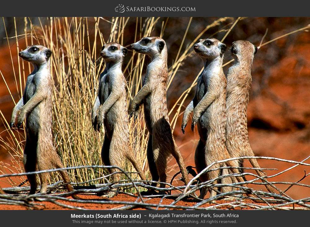 Suricates (South Africa side) in Kgalagadi Transfrontier Park, South Africa