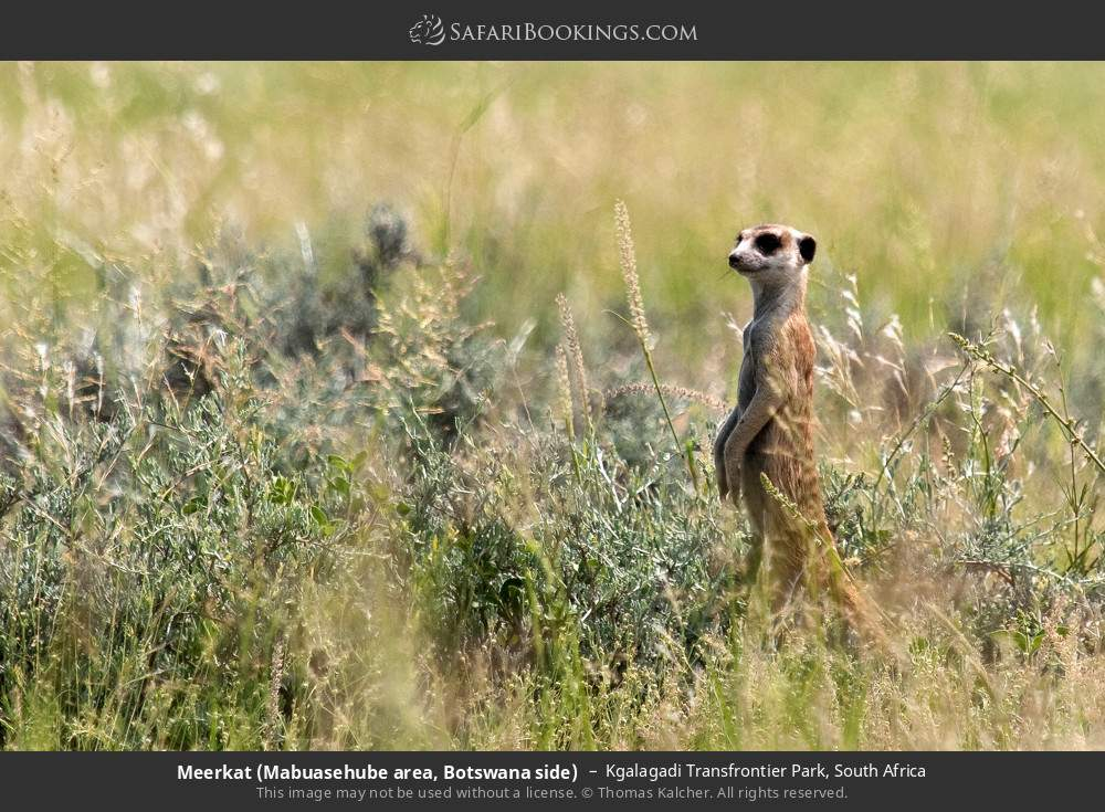 Meerkat (Mabuasehube area, Botswana side) in Kgalagadi Transfrontier Park, South Africa