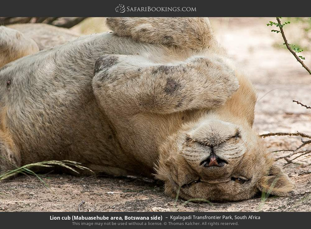 Lion cub (Mabuasehube area, Botswana side) in Kgalagadi Transfrontier Park, South Africa