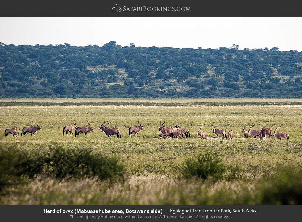 Herd of oryx (Mabuasehube area, Botswana side) in Kgalagadi Transfrontier Park, South Africa