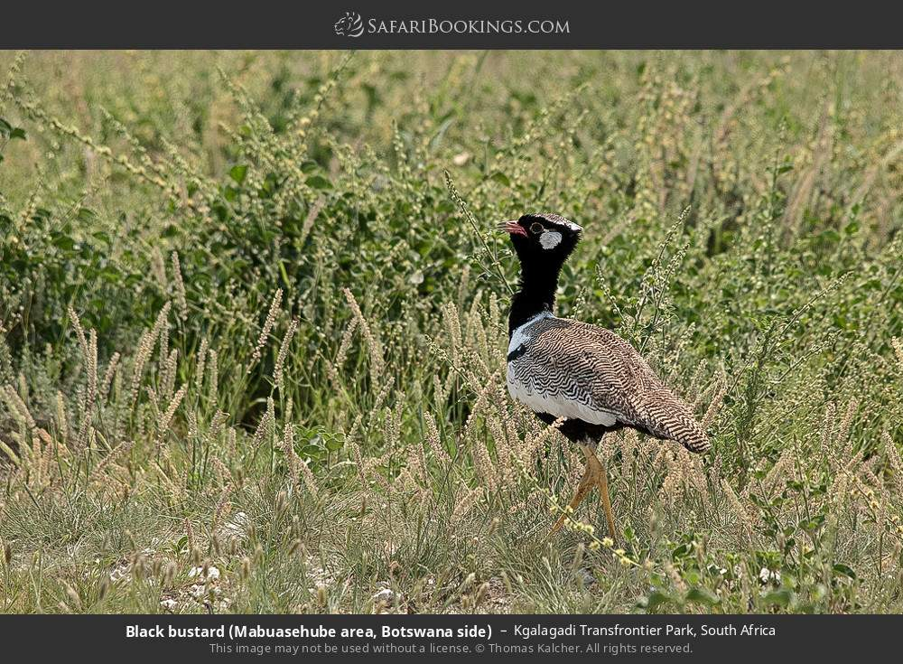 Black bustard (Mabuasehube area, Botswana side) in Kgalagadi Transfrontier Park, South Africa