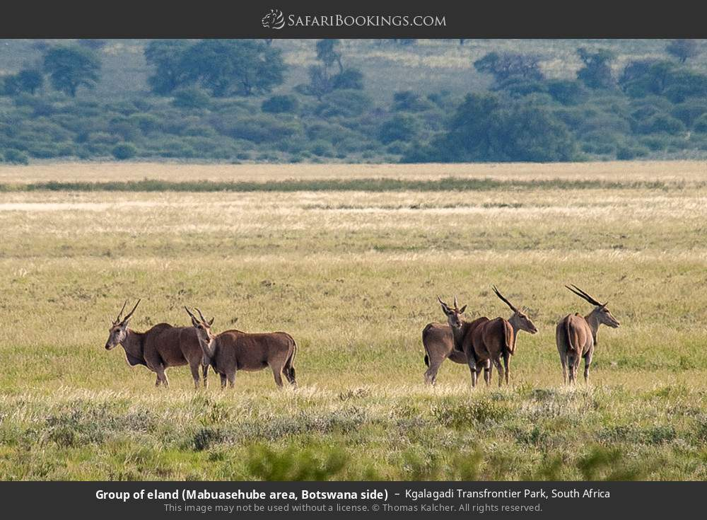 Group of eland (Mabuasehube area, Botswana side) in Kgalagadi Transfrontier Park, South Africa
