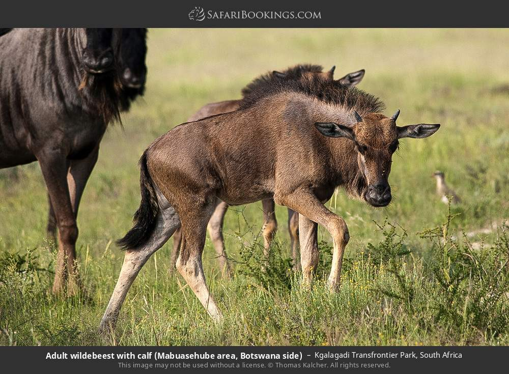 Adult wildebeest with calf (Mabuasehube area, Botswana side) in Kgalagadi Transfrontier Park, South Africa