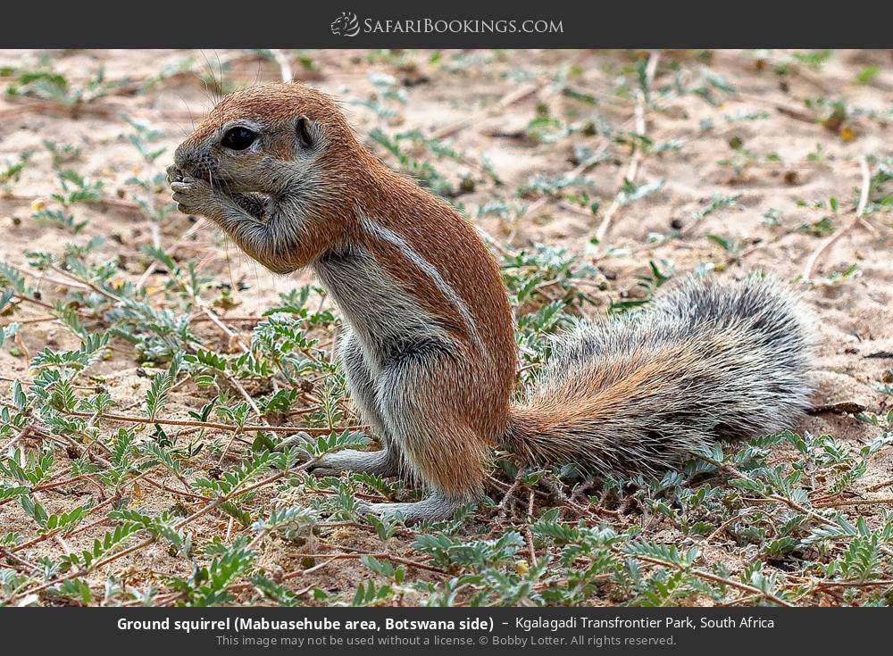 Ground Squirrel (Mabuasehube area, Botswana side) in Kgalagadi Transfrontier Park, South Africa