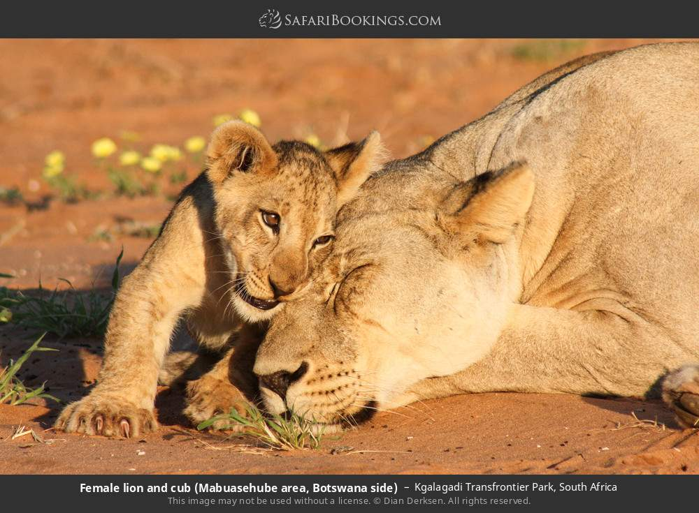 Female lion and cub (Mabuasehube area, Botswana side) in Kgalagadi Transfrontier Park, South Africa