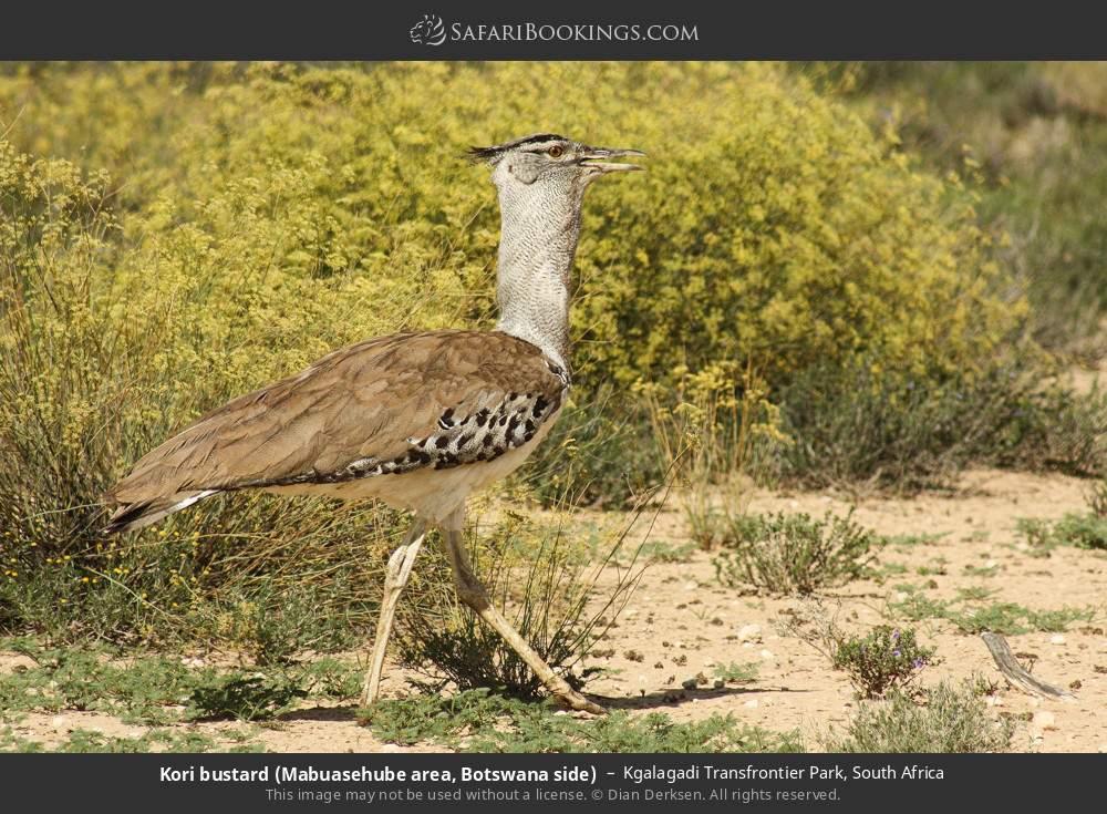 Kori bustard (Mabuasehube area, Botswana side) in Kgalagadi Transfrontier Park, South Africa