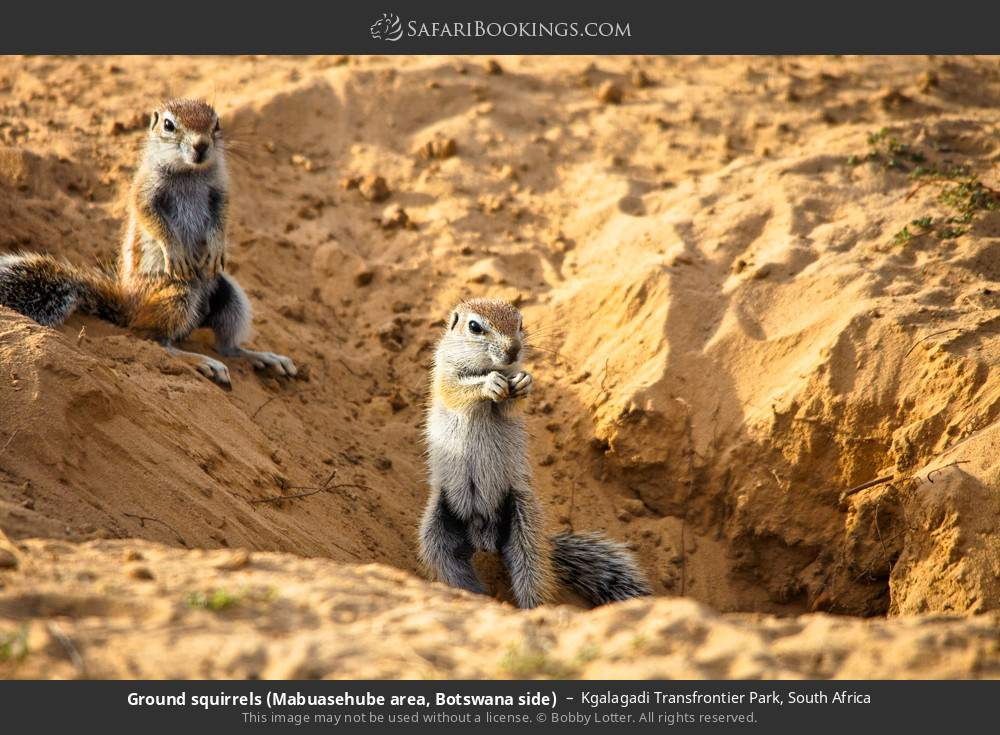 Ground squirrels (Mabuasehube area, Botswana side) in Kgalagadi Transfrontier Park, South Africa