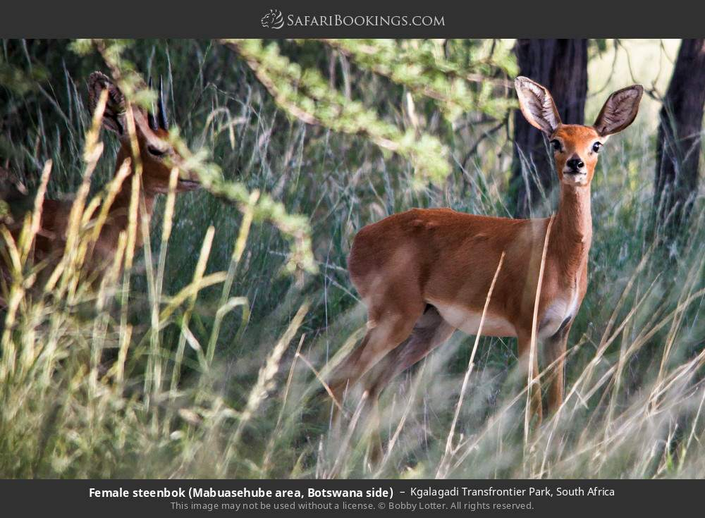 Female steenbok (Mabuasehube area, Botswana side) in Kgalagadi Transfrontier Park, South Africa