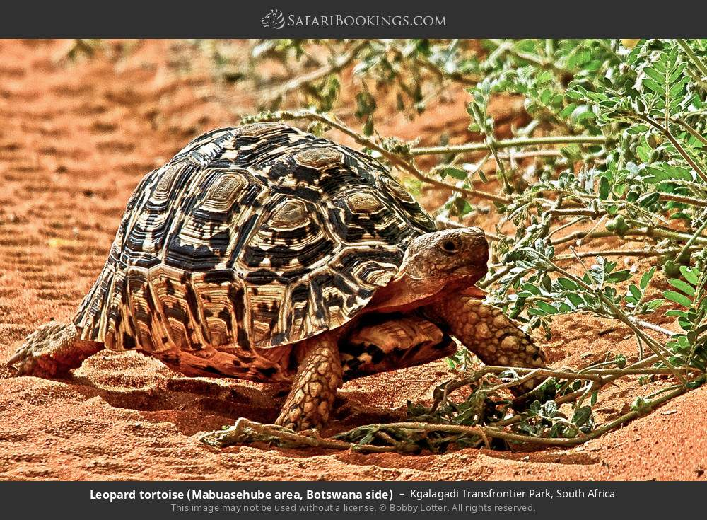 Leopard tortoise (Mabuasehube area, Botswana side) in Kgalagadi Transfrontier Park, South Africa