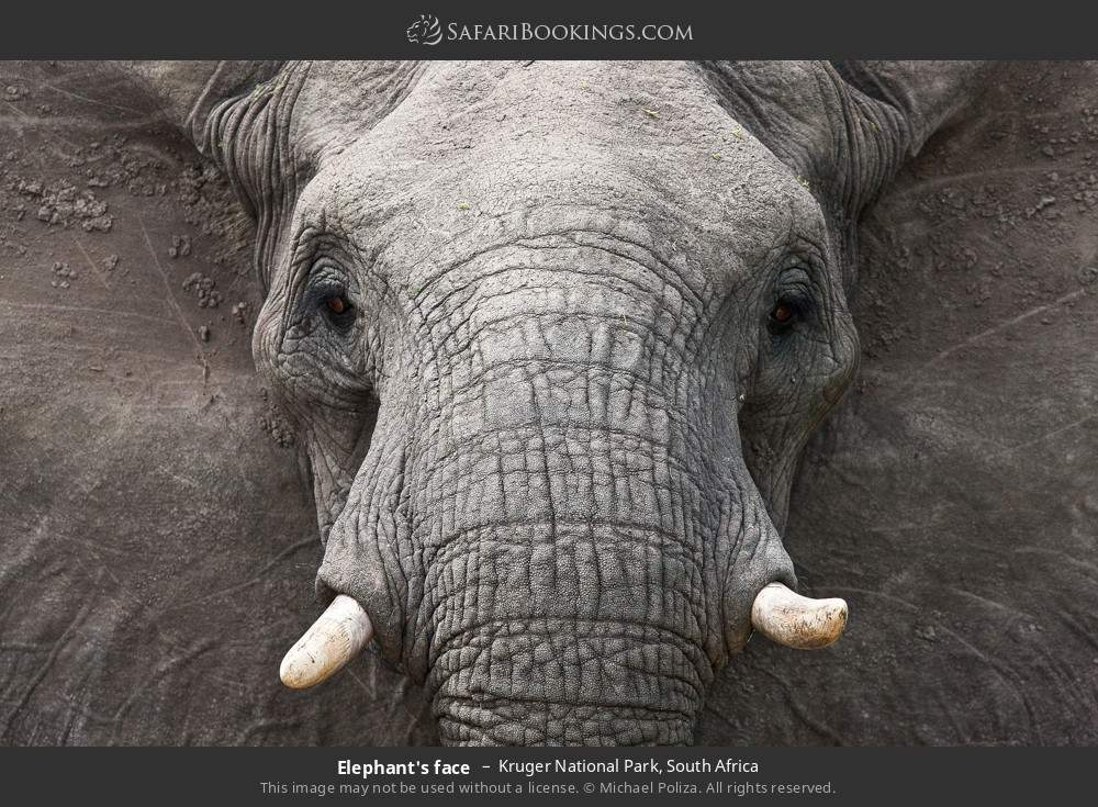 Elephant's face in Kruger National Park, South Africa