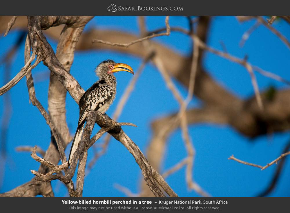 Yellow-billed Hornbill perched in a tree in Kruger National Park, South Africa