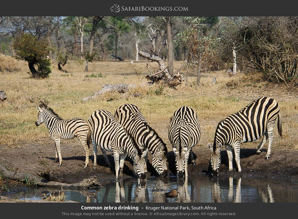 Common zebra drinking in Kruger National Park, South Africa