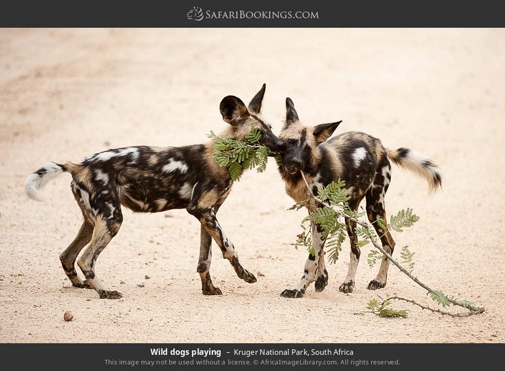 Wild dogs playing in Kruger National Park, South Africa